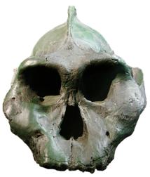 Paranthropus aethiopicus 'Black Skull' fossil