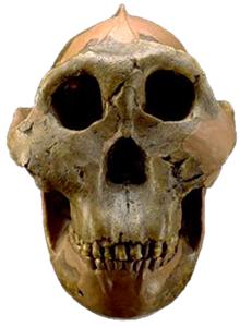 Paranthropus boisei 'Nutcracker' fossil