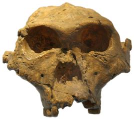 Paranthropus robustus 'Beside Man' fossil