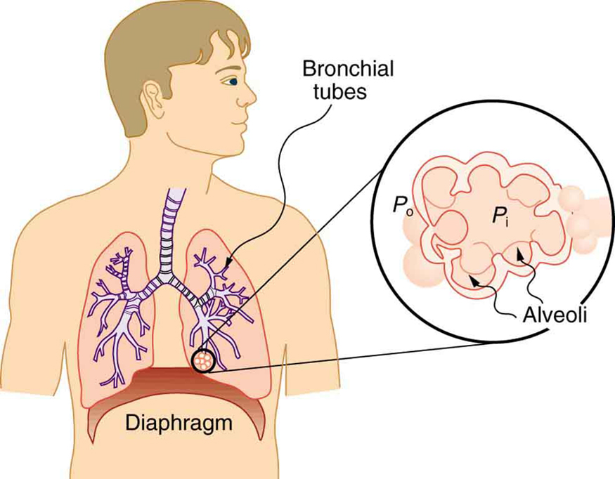 The alveoli at the end of the lung tubes enable exhalation and do not allow inhalation due to the surface tension of the mucous lining.