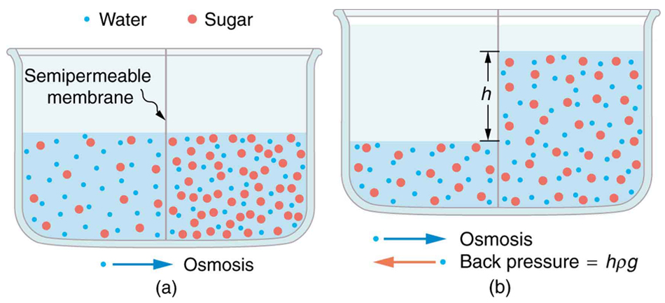Part a of the figure shows a vessel having two different concentrations of sugar in water separated by a semipermeable membrane that passes water but not sugar molecules. The sugar molecules are shown as small red color spheres and water molecules as still smaller blue colored spheres. The right side of the solution shows more of sugar molecules represented as more number of red spheres. The osmosis of water molecules is shown toward right. Part b shows the second stage for figure on part a. The osmosis of water is shown toward right. The height of fluid on right is shown as h above the fluid on the left. The back pressure of water is shown toward left.