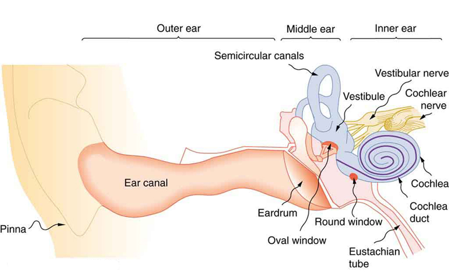 The picture shows the anatomy of a human ear. All organs in the ear are labeled. There is a pinna or the outer end of the ear, followed by a long ear canal in the outer ear. The middle ear has the eardrum little arc shaped. There are small round and oval windows next to it. There are semicircular canals. In the inner ear are snail shell shaped cochlea and cochlea duct. There is a Eustachian tube that leads downward. There are cochlear nerve and vestibular nerves in the inner ear.